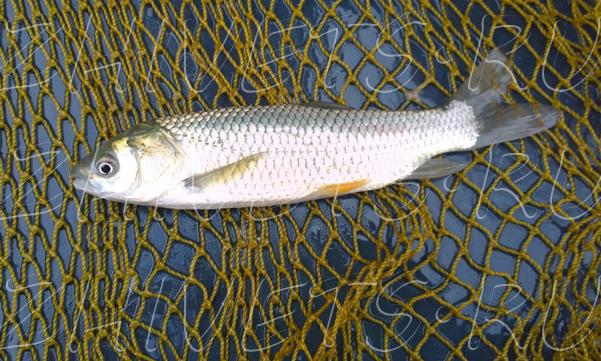 рыба толстолобик полезные свойства