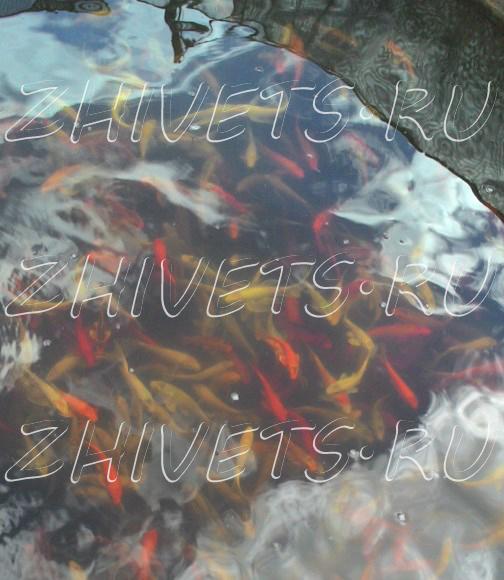 рыба толстолобик купить в москве