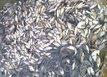 Скидки на живую рыбу для пруда до 31 мая